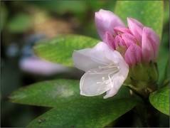 (Tölgyesi Kata) Tags: rhododendron botanikuskert botanicalgarden withcanonpowershota620 flower blossom havasszépe rododendron tuzsonjánosbotanikuskert nyíregyháza fleur virág tavasz