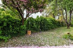 05-Pétales de cerisier fleurs (Alain COSTE) Tags: maison nikon pessac sigma20mmf14 fleur herbe jardin pétales gironde france fr