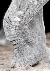 Chalky leg (Thomas Retterath) Tags: thomasretterath nature natur nopeople safari 2018 fluss chobe botswana africa afrika river wildlife loxodontaafricana bigfive africanelephant elefant elephantidae pflanzenfresser herbivore säugetier mammals animals tiere trunk stoszähne tusks closeup nahaufnahme