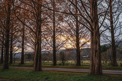 Feel the fall of autumn (Toshio.Nomura.Photographer) Tags: metasequoia tree autunm autumnieaves lateautumn road evening dusk treetrees sony α7rii calzeiss zeiss zeisscameralenses batis batis240cf