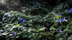 Hiding (FayTr) Tags: centralamerica nature belize tropics vine plant flower jungle cat