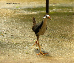 IMG_6355 White-breasted Waterhen (Amaurornis phoenicurus) (vlupadya) Tags: greatnature aves fauna indianbirds whitebreasted waterhen amaurornis kundapura karnataka