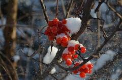 Снежинкою не просто быть: Она с небес к нам прилетает, Чтоб таять, таять и любить, Любить и снова таять, таять... (Angelok-Happy) Tags: зима снежинка новыйгод ягодки настроениеsnow winter newyear berries snowflakes