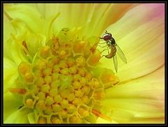 IMG_0561 Inside Job 7-27-18 (arkansas traveler) Tags: dahlia flower bichos bugs hoverfly syrphidfly nature naturewatcher natureartphotography macro macrolicious