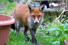 I've Got You Licked..... (law_keven) Tags: foxcub fox foxes urbanredfoxcub urbanredfox redfox catford london england animals mammals wildlife wildlifephotography photography grass animal