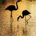 Flamingos at Golden Sunset