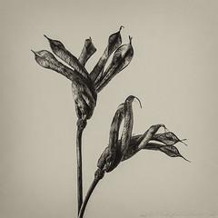 Twisted Sisters (SkyeWeasel) Tags: macromondays picktwo aquilegia columbine macro blossfeldt karlblossfeldt monochrome twisted botanical