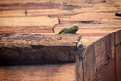 0891 Animals Of India (Hrvoje Simich - gaZZda) Tags: animals bird parrot green squirrel nature delhi india asia travel nikon nikond750 nikkor283003556 hrvojesimich gazzda