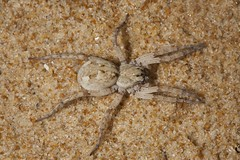 Family Lycosidae sp., Wolf spider (Museums Victoria's Catching the Eye) Tags: geo:country=australia geo:state=victoria invertebrates spiders taxonomy:class=arachnida taxonomy:family=lycosidae taxonomy:infraorder=araneomorphae taxonomy:kingdom=animalia taxonomy:order=araneae taxonomy:phylum=arthropoda taxonomy:subphylum=chelicerata terrestrial