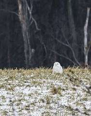 """This is My Territory and My Things . . . "" (Dr. Farnsworth) Tags: owl snowy snowyowl far distance male bird charlevoix mi michigan winter january2019"