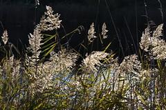 Phragmites australis, La Saulonera (esta_ahi) Tags: lasaulonera flora plantas silvestres olèrdola penedès barcelona spain españa испания phragmites australis phragmitesaustralis carrizos gramineae poaceae