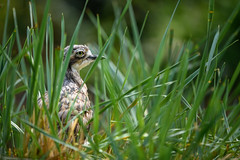 Hiding in the grass (Rico the noob) Tags: dof 300mm d850 nature birds outdoor animal published grass bokeh 2018 300mmf4pf closeup bird zoo eye stuttgart germany animals