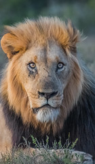 A Kings stare... (Coisroux) Tags: animals safari big5 lion kwandwe southafrica nikond850 d850 eyes portrait wildlife mammal