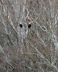 eagle pair (foxtail_1) Tags: haliaeetusleucocephalus eagle eagles baldeagle panasonicg9 lumixg9 g9 bluestonelake eaglecount