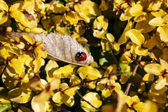 NEX_0254 (valerie something or other) Tags: carolina raleigh arboretum winter leaf ladybug