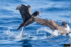 Wedge-tailed Shearwater (Puffinus pacificus) (Dave 2x) Tags: puffinuspacificus puffinus pacificus wedgetailedshearwater wedgetailed shearwater fight sydneypelagic sydney pelagic nsw australia leastconcern