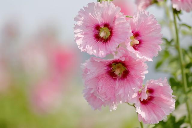 Обои лето, листья, цветение, мальва картинки на рабочий стол, раздел цветы - скачать