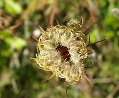 Spot the ladybird! (rockwolf) Tags: 7spot ladybird beetle coccinellidae coccinelle coccinellaseptempunctata coccinelleà7points insect llanymynechrocks shropshire rockwolf
