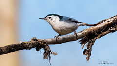 White-breasted nuthatch (idvisions) Tags: wildlife explore whitebreastednuthatch nuthatch nuthatches outdoor bird interestingness birds