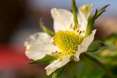 (Jérôme_M) Tags: canon eos 600d macro proxy fleur flower fraisier aquitaine landes seignanx bokeh 50mm