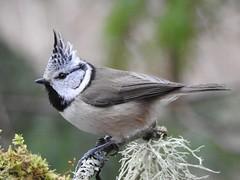 Crested Tit (Lophophanes cristatus) (eerokiuru) Tags: crestedtit lophophanescristatus haubenmeise czubatka tutttihane bird wildlife nature birding vogel