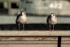 DSC00952 (Joe Magar) Tags: baltimore gulls birds