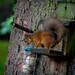 Red Squirrels at Rannoch 2017 - 3087.jpg