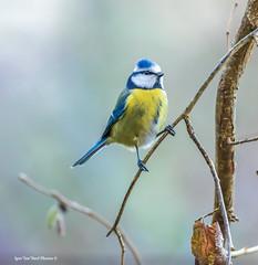 """Hi March! Springtime!-Tere, märts! Kevadkuu!20181125-IMG_8222 (Igor """"Ixa"""" Nael) Tags: tihane tits lind bird sinitihane bluetit cyanistescaeruleus blaumeise paruscaeruleus nature makro makrofoto wild spring"""