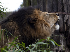 Luke - Lion (Panthera leo) National Zoo (CGDana) Tags: national zoo smithsonian mammal megafauna dc canon 7d mkii