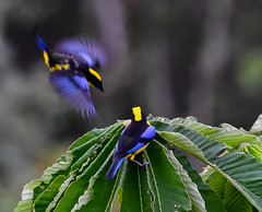 Clear to Land: Blue-winged Mountain Tanagers (Anisognathus somptuosus) (mharoldsewell) Tags: 100400mm 2018 bluewingedmountaintanager d7200 ecuador nikon sigma tandayapa bird birds landing mharoldsewell mikesewell photos anisognathussomptuosus