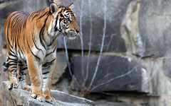 Lady Tiger (AvesAg) Tags: canon eos eosr r pantheratigrissumatrae panthera tiger sumatratiger sumatrantiger carnivore cat katze raubkatze endangered female weibchen berlin zoo tierparkberlin tierpark