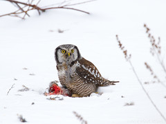 On A Kill (Doug Scobel) Tags: northern hawk owl surnia ulula saxzimbog sax zim bog forest boreal wild bird winter wildlife