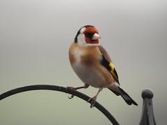 Goldfinch (Simply Sharon !) Tags: goldfinch bird wildlife britishwildlife nature gardenbird inthegarden gardenvisitor march