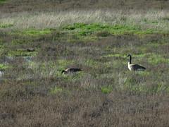Canada goose pair visiting seasonal wetland meadow at Ballona Wetlands (stonebird) Tags: canadagoose brantacanadensis ballonawetlandsecologicalreserve area b february img8755