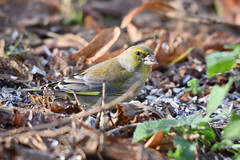 Verdier d'Europe ♂ - Carduelis chloris (Fabrice Cadillon) Tags: verdierdeurope carduelischloris nature wildlife nikon 2018 oiseau bird