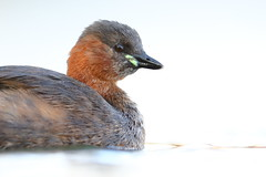 Little grebe (Mike Mckenzie8) Tags: tachybaptus ruficollis wild wildlife bird lake winter