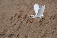 Little egret (Matt Hazleton) Tags: littleegret egret egrettagarzetta bird animal nature outdoor bcnwildlifetrust wildlife summerleys northamptonshire canon canoneos7dmk2 canon100400mm eos 7dmk2 100400mm matthazleton matthazphoto
