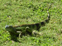 Grand Cayman Island, Day 5 -- Caribbean Cruise Vacation, Pedro St. James National Historic Site (Pedro's Castle), Iguana Lizard in the Grass (Mary Warren 12.0+ Million Views) Tags: grandcaymanisland caribbean cruise pedroscastle nature flora plants green leaves foliage grass fauna lizard iguana