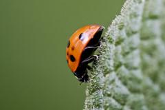 Seven-spot + Ladybug (Thomas Langhans) Tags: ladybird beetle sevenspot ladybug larva coccinella septempunctata coccinellidae insect coleoptera
