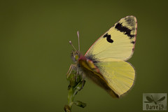 Greenish Black-Tip - Euchloe charlonia (Donzel, 1842) ( BlezSP) Tags: euchloe charlonia lanzarote desierto canarias canary butteflies bazae iberae mariposas de