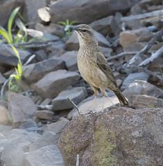 Yellow-tufted Pipit (Anthus crenatus)-9799 (Dave Krueper) Tags: africa aves bird birds landbird motacillidae passeriformes passerine pipit southafrica ytpi
