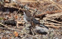 Boreal Chickadee (Laura Erickson) Tags: paridae saxzimbog stlouiscounty borealchickadee birds places species passeriformes minnesota poecilehudsonicus