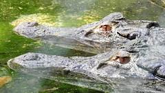 Jacarés (sileneandrade10) Tags: sileneandrade jacaré jacarédepapoamarelo alligatoridae caimanlatirostris caiman natureza amazônia selva floresta nature água espelho reflexo crocodilo réptil nikoncoolpixp900 nikon