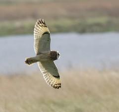 Short eared owl backlit (Lancs & Lakes Outback Adventure Wildlife Safaris) Tags: nikon d7200 sigma contemporary 150600mm owl shortearedowl backlit wings golden