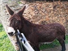 burro animal Granadilla Caceres (Rafael Gomez - http://micamara.es) Tags: burro animal granadilla caceres