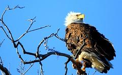 bald eagle at Decorah Fish Hatchery IA 653A5777 (naturalist@winneshiekwild.com) Tags: bald eagle decorah fish hatchery winneshiek county iowa larry reis