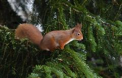 Squirrel (debsiep1) Tags: red squirrel cairngorms scotland nikon glentruim