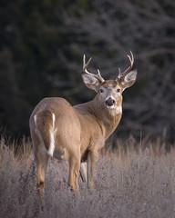 Small buck looking back 5 (dbirmingham08) Tags: kansas whitetail buck antlers nature deer wildlife rut