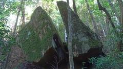Split rock (Tony Markham) Tags: missinghamsteps budderoonationalpark kangarooriver wet slippery steep dangerous rainforest fungi fungus pleurotus