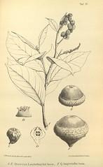 n639_w1150 (BioDivLibrary) Tags: botany melanesia papuanewguinea missouribotanicalgardenpeterhravenlibrary bhl:page=500568 dc:identifier=httpsbiodiversitylibraryorgpage500568 artist:name=gertrudbartusch